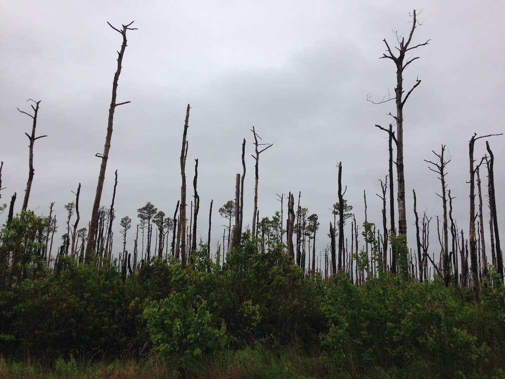 Charred trees from wild fires near Hyde County, North Carolina