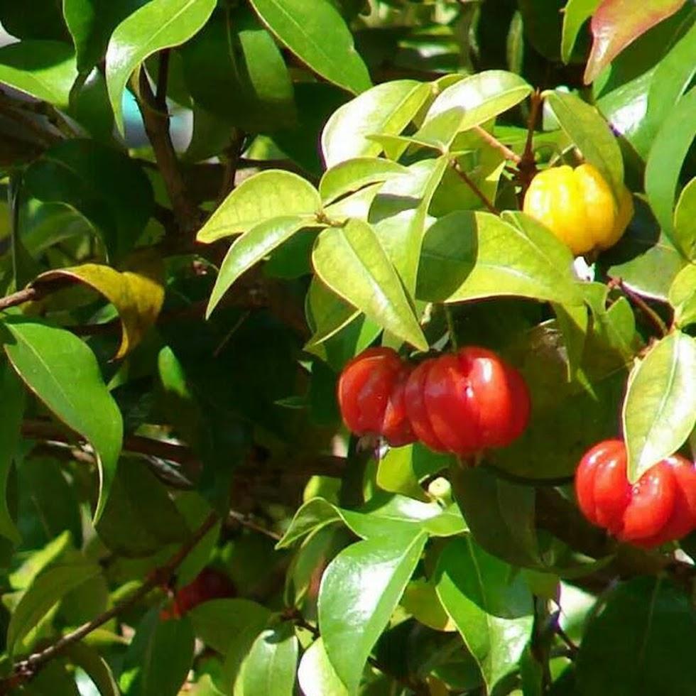 Bibit Tanaman Buah Cermai Merah Dewandaru Eugenia uniflora Lubuklinggau