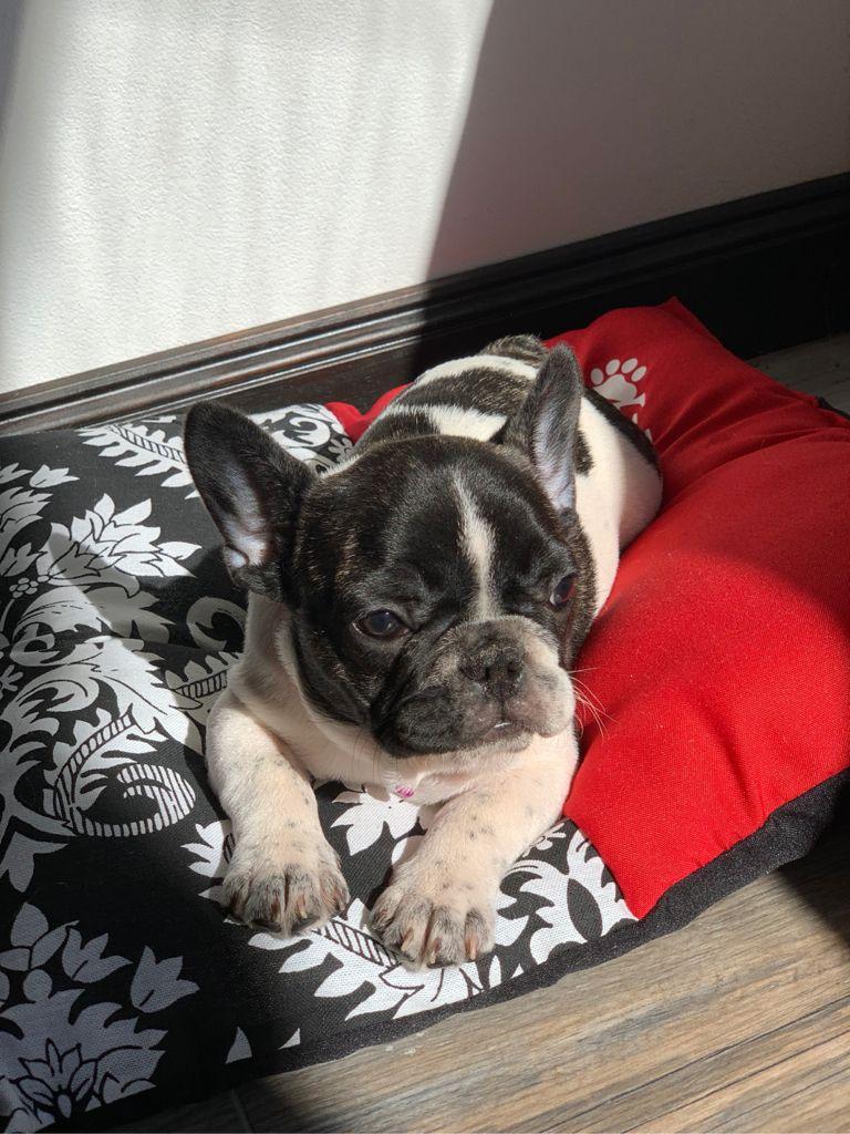 Bulldog Francés Vaquita Atigrada
