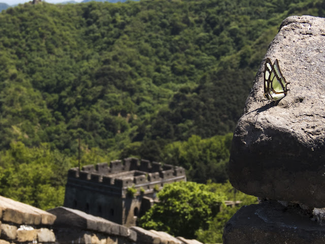 Butterfly on the Mutianyu Great Wall of China
