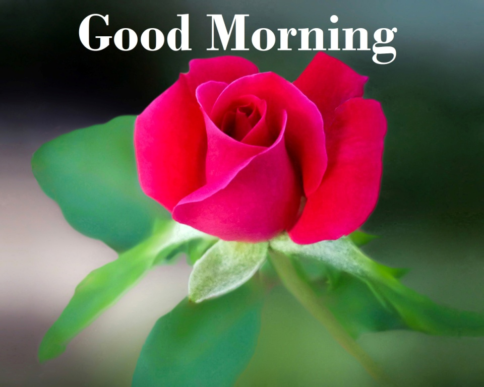 His Arcity Info: Good Morning Images with Rose Flowers for