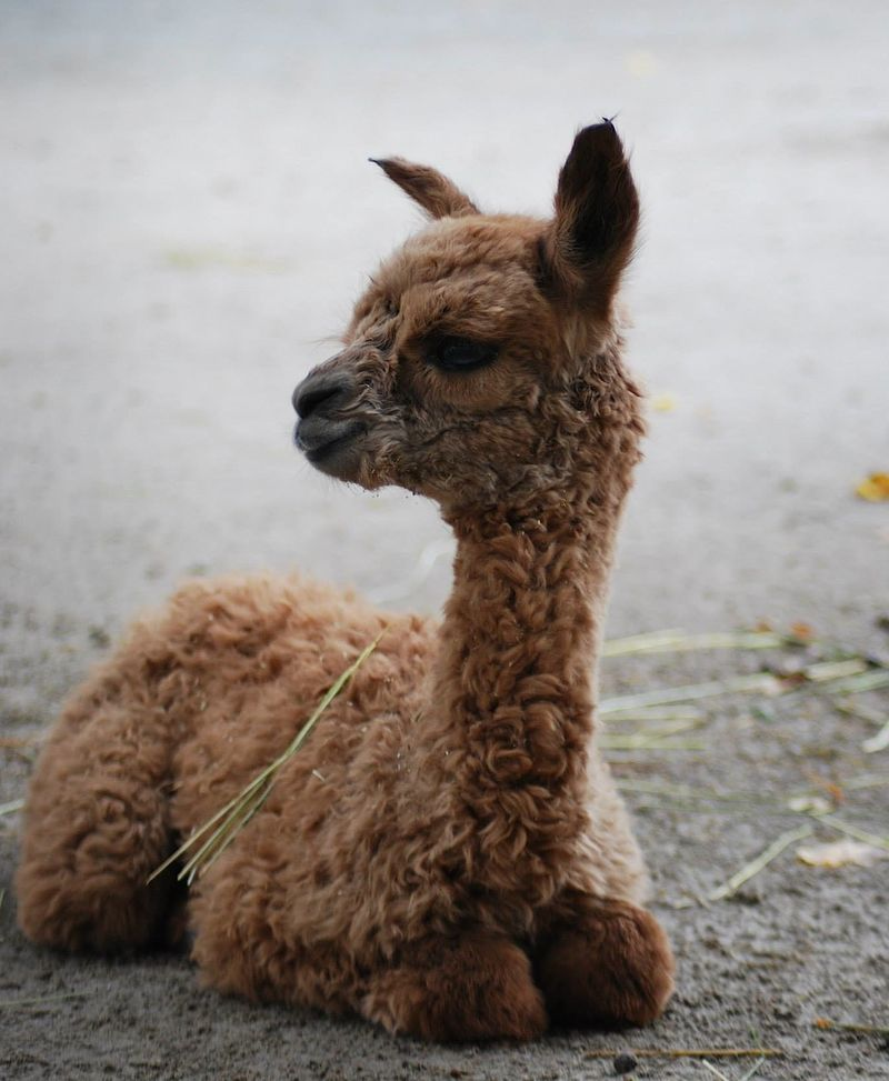 Baby Animals: Cria 8