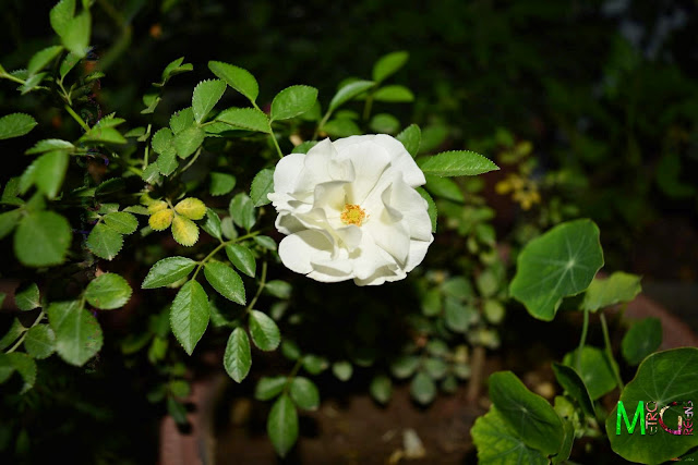 Metro Greens: Miniature white rose bloom