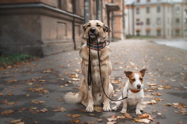 Jaką wybrać rasę psa?