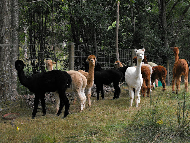 alpacas lining up for food