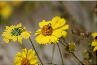 Beetle on Brittle Bush Coachella Preserve Art Print