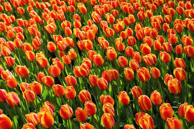 orange tulip-flower image