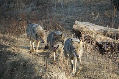 多摩動物公園のタイリクオオカミの群れ