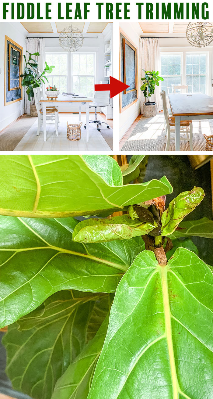 Before and after of fiddle leaf fig trim