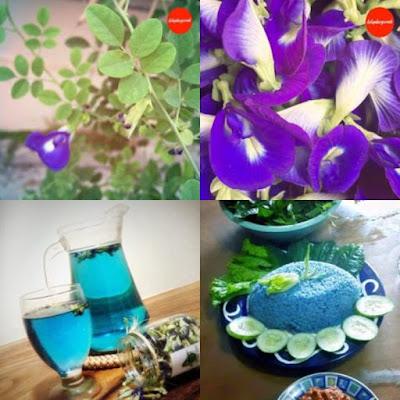 bunga telang untuk pewarna alami biru makanan