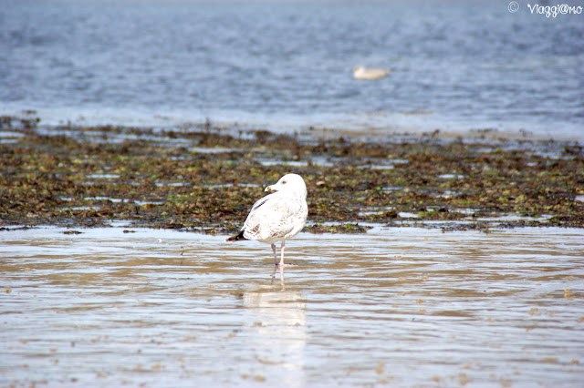 Gabbiano sulla spiaggia di Saint Malo
