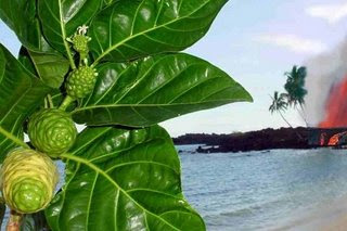 manfaat daun mengkudu untuk kenari