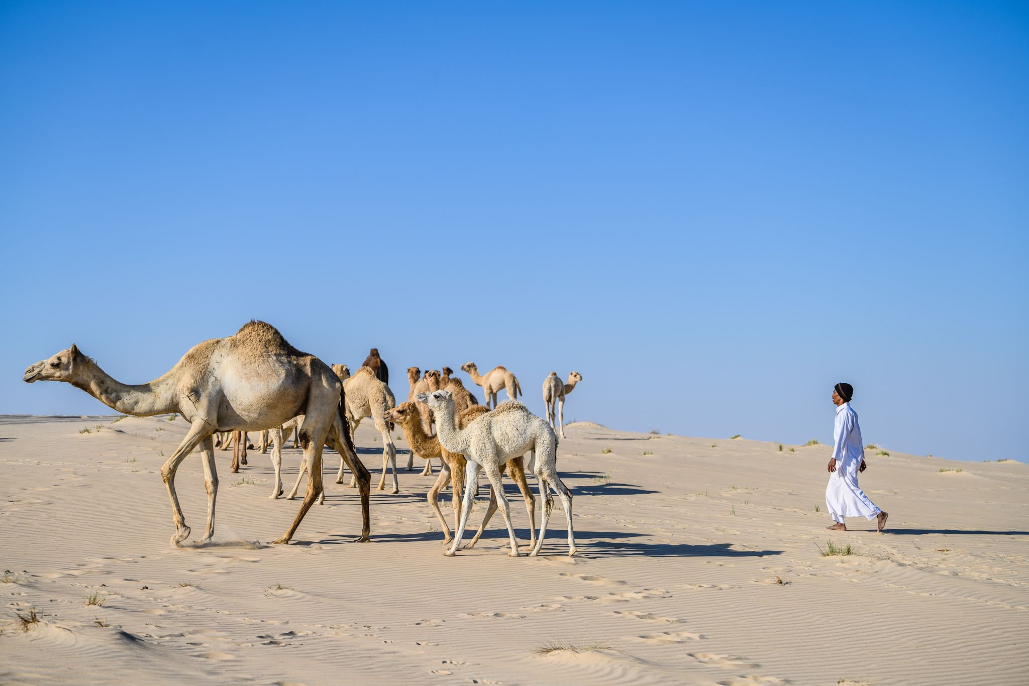 QNTC issues photos of cute arrivals in the country - camel calves