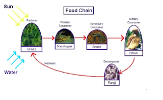 Food chains, 5th grade