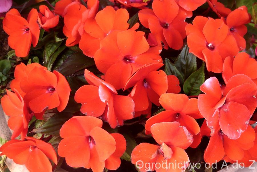 Kwiaty Na Balkon I Taras Kwiaty Na Stanowiska Zacienione