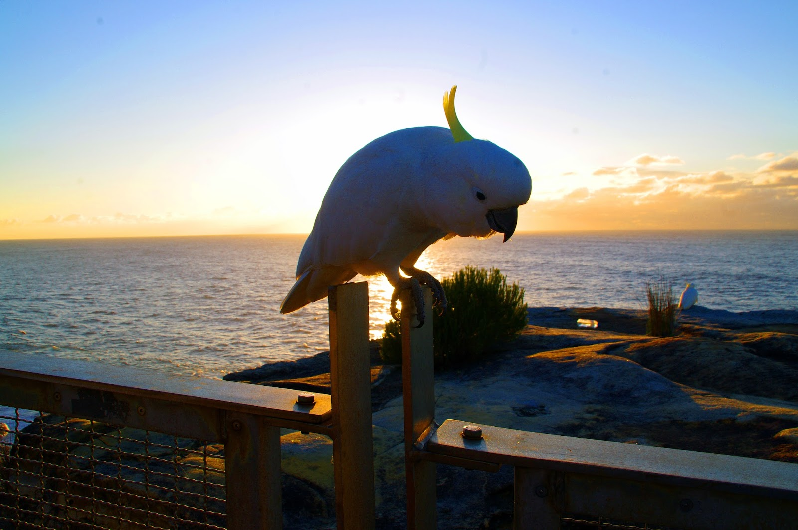 cockatoo at sunrise