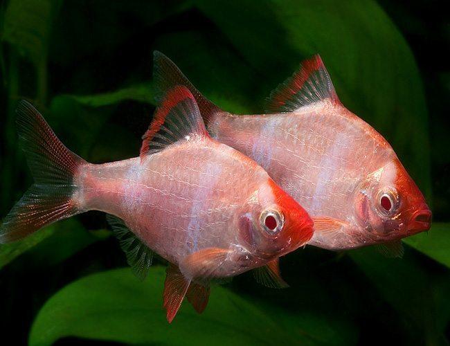 Jenis Ikan Sumatra Atau Tiger Barb Beserta Harganya Ikanesia Id