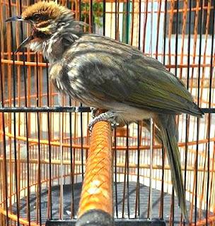 Burung Cucak Rowo - Agar Burung Cucak Rowo Rajin Berkicau dan Mempunyai Performa yang Baik - Penangkaran Burung Cucak Rowo