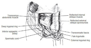 ilioinguinal region anatomy