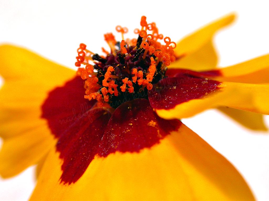 Makro Studentenblume gelb