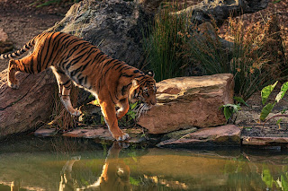 Tiger In Maharashtra
