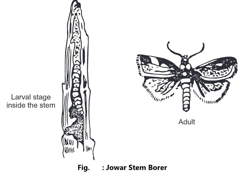 Jowar Stem Borer: Overview