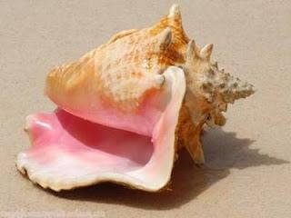 le coquillage le  plus rare et le plus chere au monde