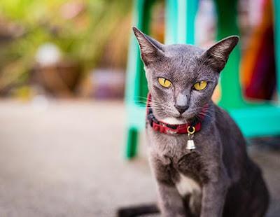 Jenis Ras Kucing Korn Ja