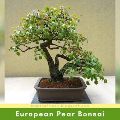 European Pear Bonsai