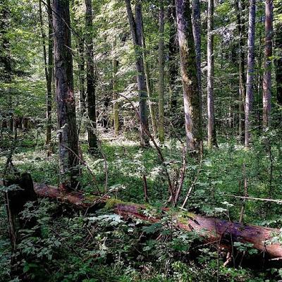 Tronco caído en el bosque de Bialowieza