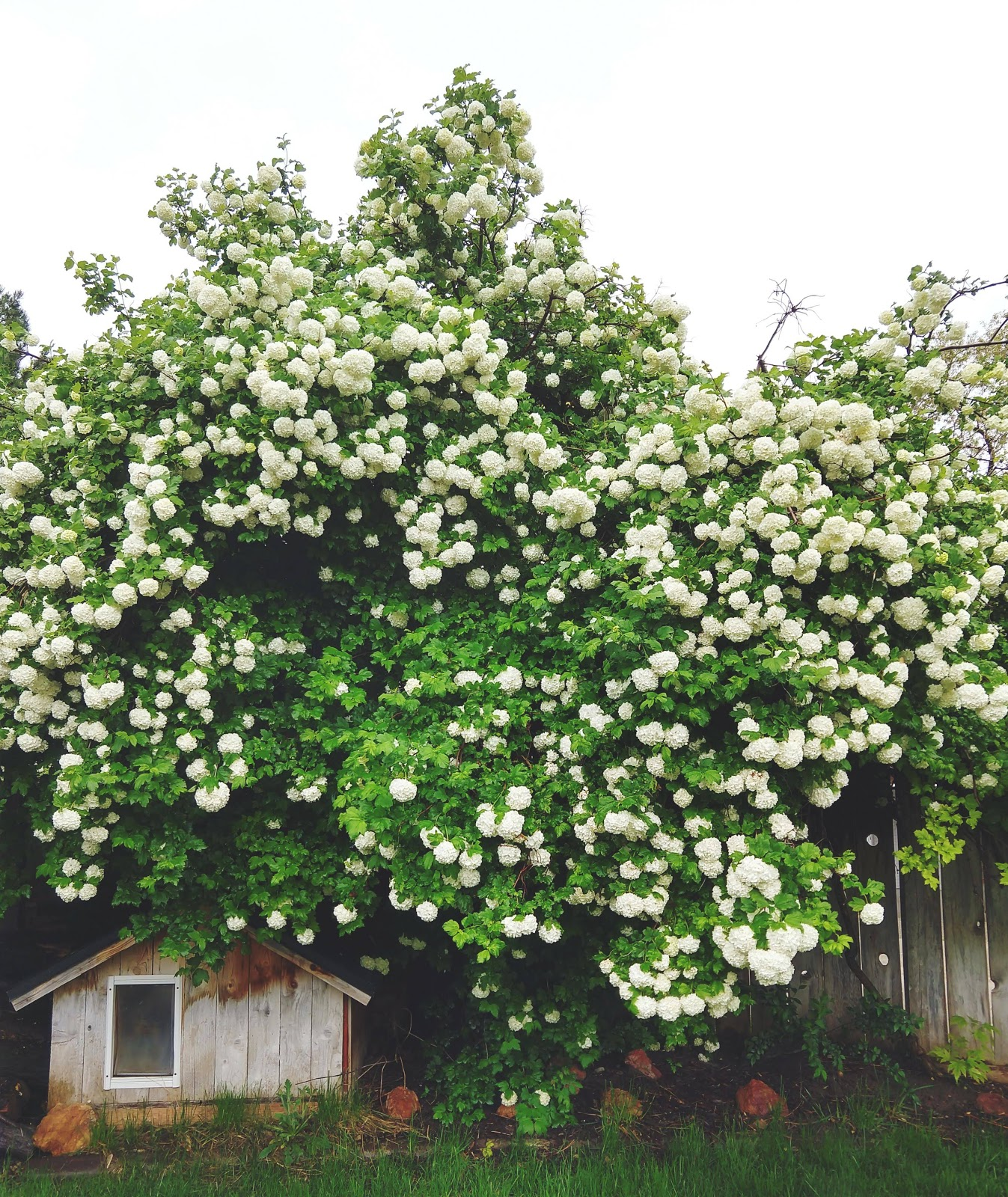 Snowball Tree in full bloom // www.thejoyblog.net