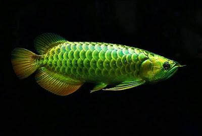 Green Arowana