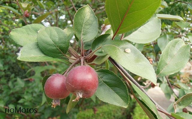 Manzanas del Manzano japonés o de flor, Malus floribunda