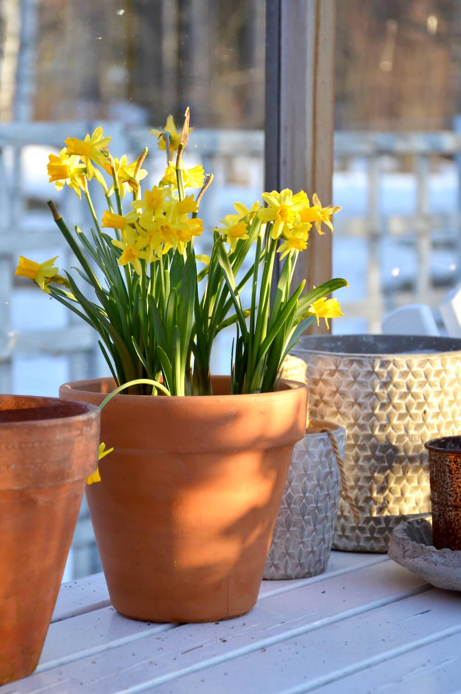tetenarsissi-kevätkukat