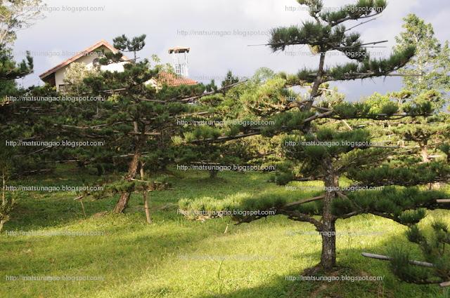 pinheiros negros Matsu Nagao