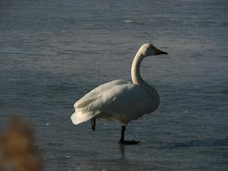 白鳥の片足立ち