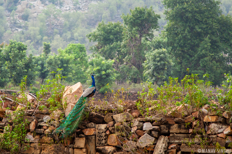 Peacock at Neelkanth Mahadev & Naugaja Temple of Santinatha