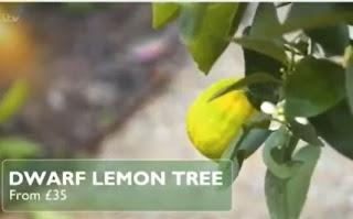 Dwarf Lemon Tree