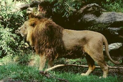 Klasifikasi Panthera leo persica