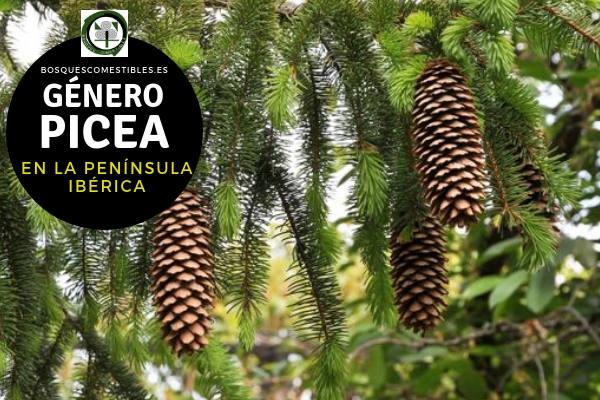 Lista de Especies del Género Picea, Familia Pinaceae en la Península Ibérica.