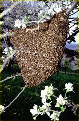 ALGUNAS PARTICULARIDADES DE LAS ABEJAS - SOME PARTICULARITIES OF BEES.
