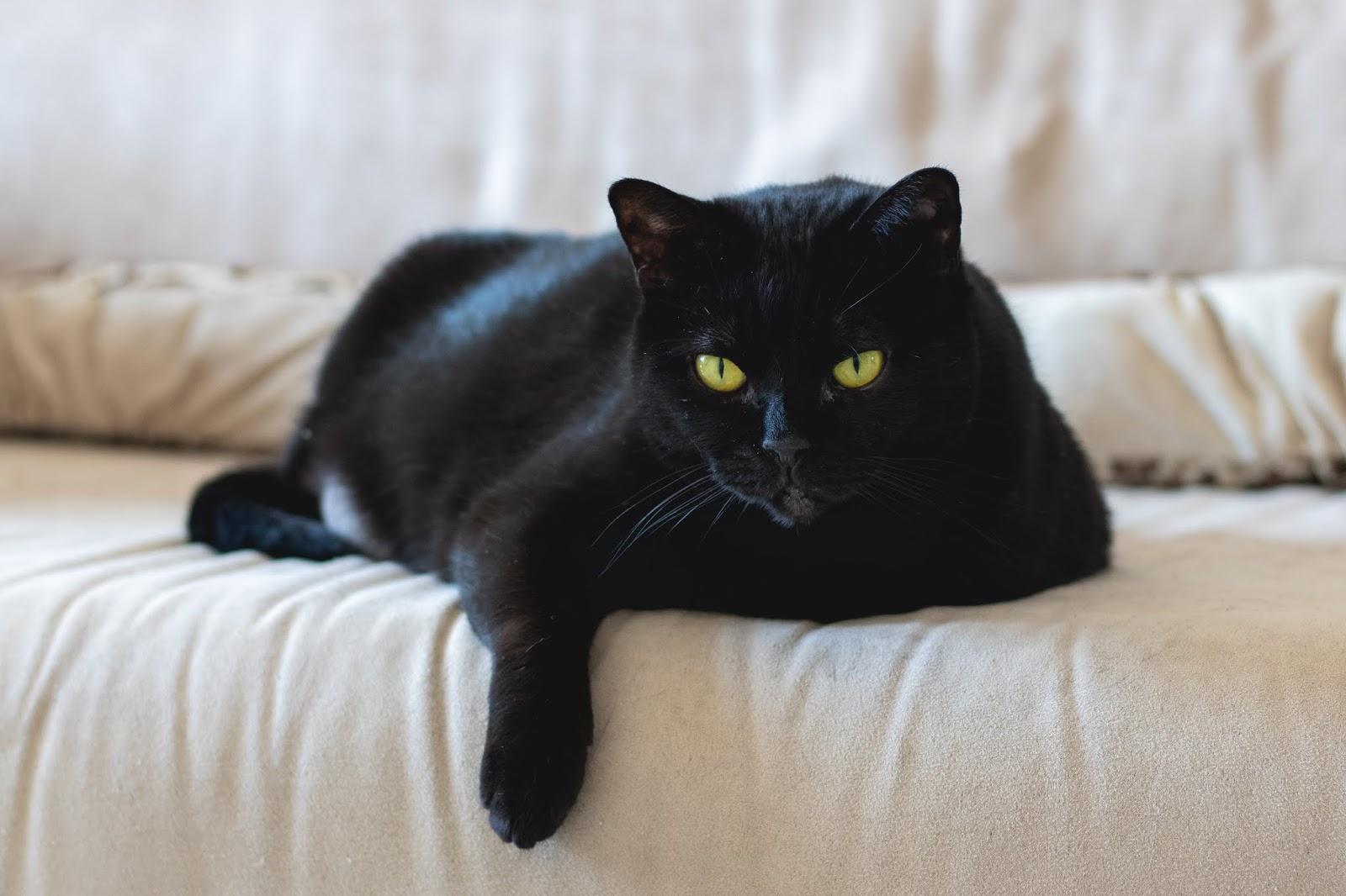 black cat on white textile,cat images