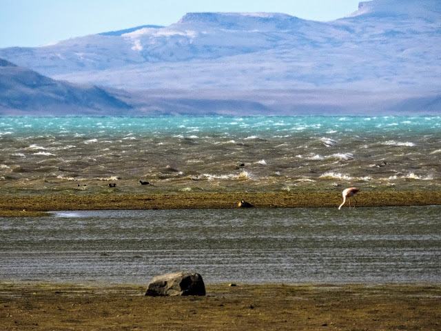 Patagonia Birds: Chilean Flamingo on the shore of Lago Argentino in El Calafate Argentina