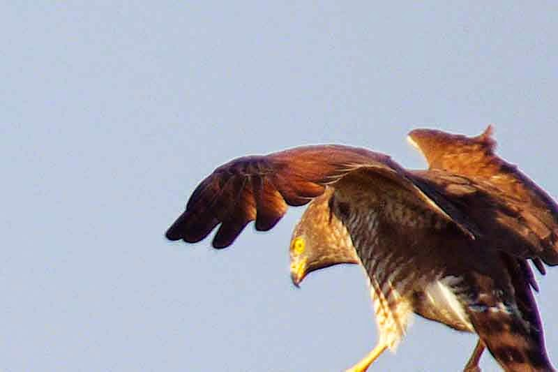 Grey-faced Buzzard Eagle, angry bird