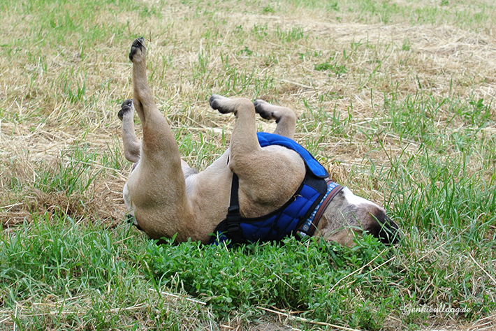 Aqua Coolkeeper Hunde Kühljacke Kühlweste für Französische Bulldogge