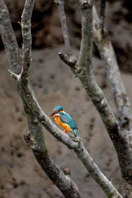 birds in sunderbans