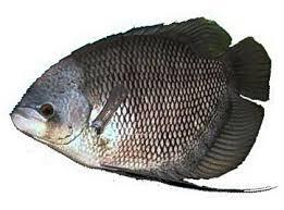 Potensi Ikan Rucah Untuk Media Mikroba