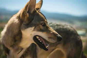 utonagan dog breeds, utonagan puppies, utonagan breeders usa