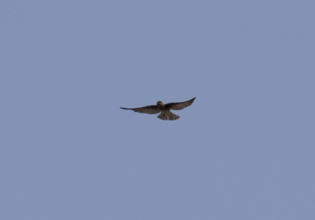 Brown-throated Martin - Oued Massa, Morocco