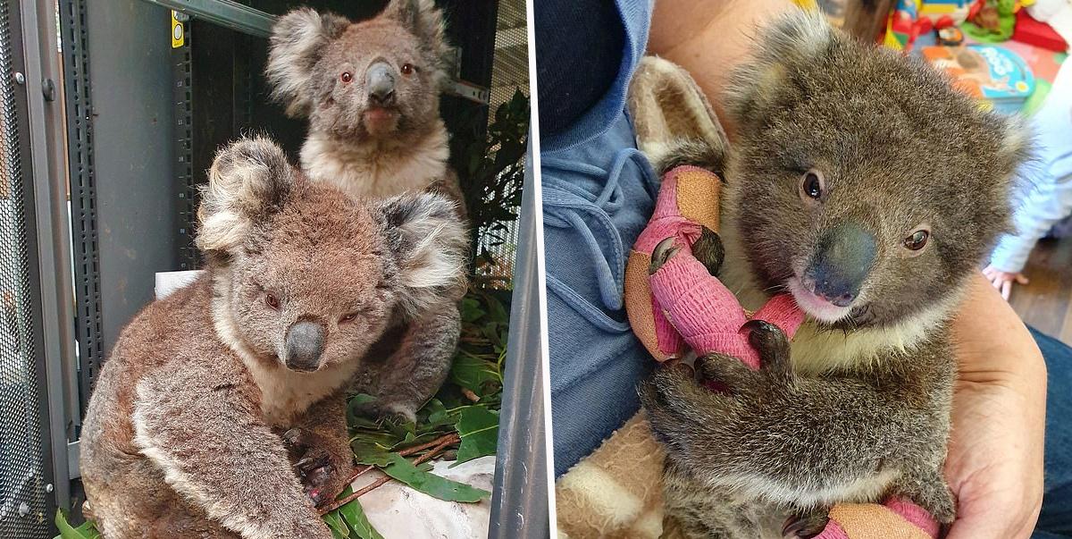 Koala, Kangaroo Island, Australia bushfire